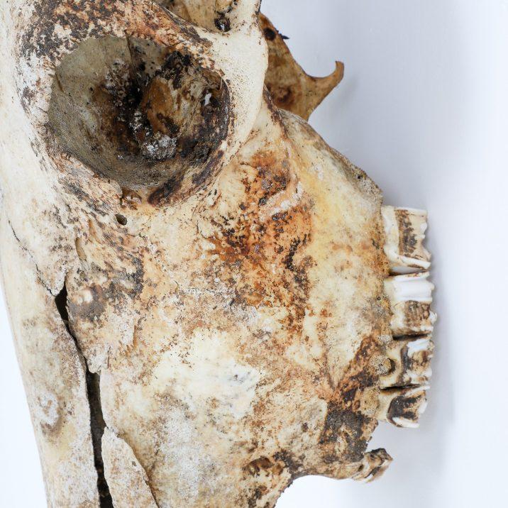 Large Antique Wildebeest Skull Belgium - Cooling & Cooling